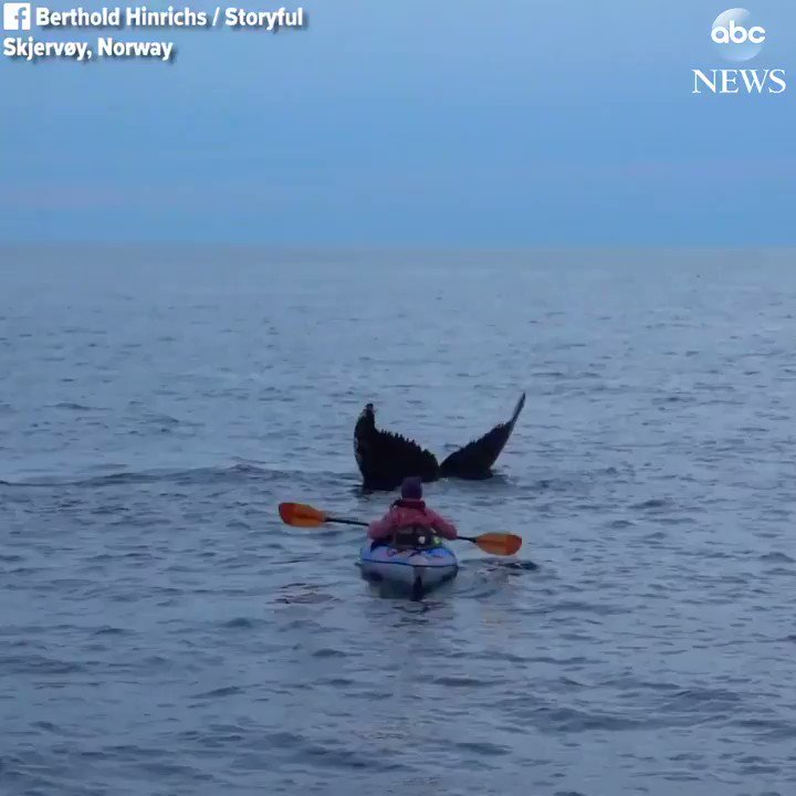CLOSE ENCOUNTER: Kayaker gets the thrill of her life as she finds herself paddling with humpback whales during an outing in Norway. abcn.ws/2EbJfyp