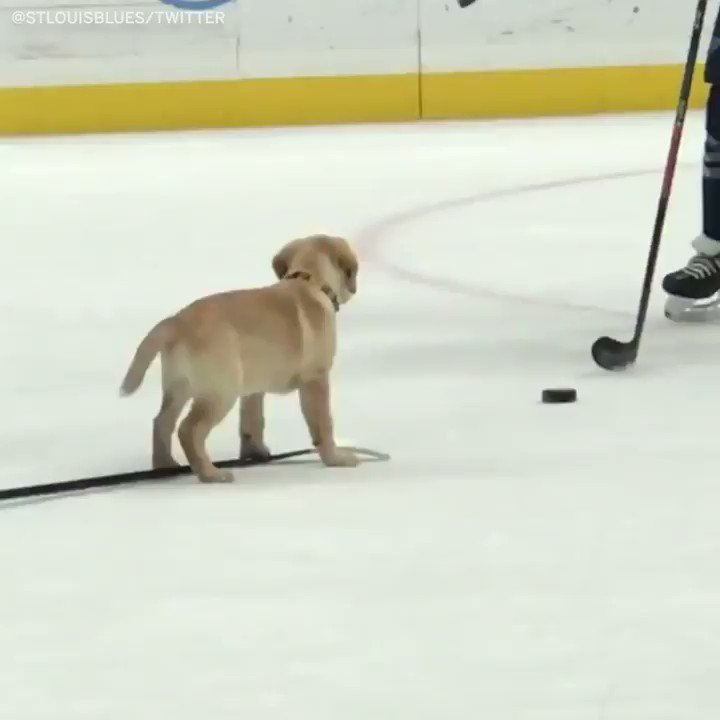 The @StLouisBlues had a ruff practice today 🐶