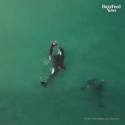 This is further proof that #orcas in the wild do not attack humans. They mean us no harm and it is very wrong of humans to put them in prison. #dolphinangels http://bit.ly/dolphinangels  http://bit.ly/darussia