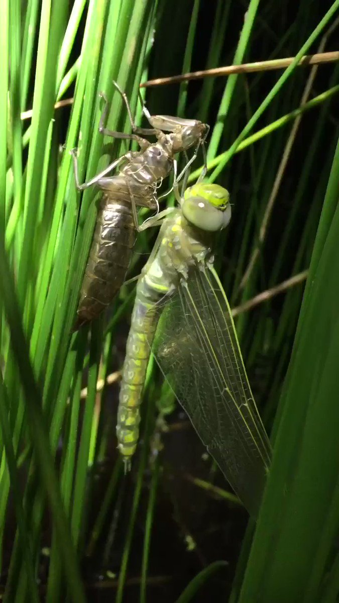 Distracted by numerous freshly minted dragonflies during bell frog surveys last night. Some only just emerged from their larval stage. So beautiful #Odonata #wetlands #wildoz #envirowater @erazeng @waterpenny10