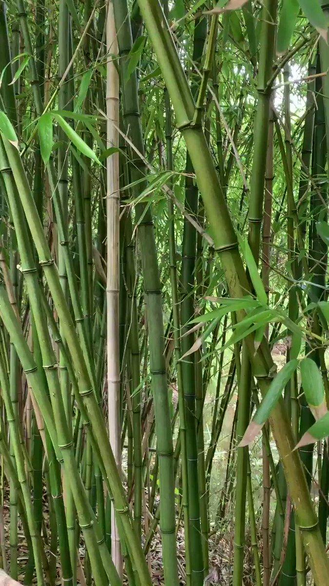 Dewitt Brown On Twitter We Gotta Keep Bamboo Alive