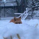 雪の中スローで迫りくるキツネさんかわいいなぁ~!キツネについてちょっと調べてみた