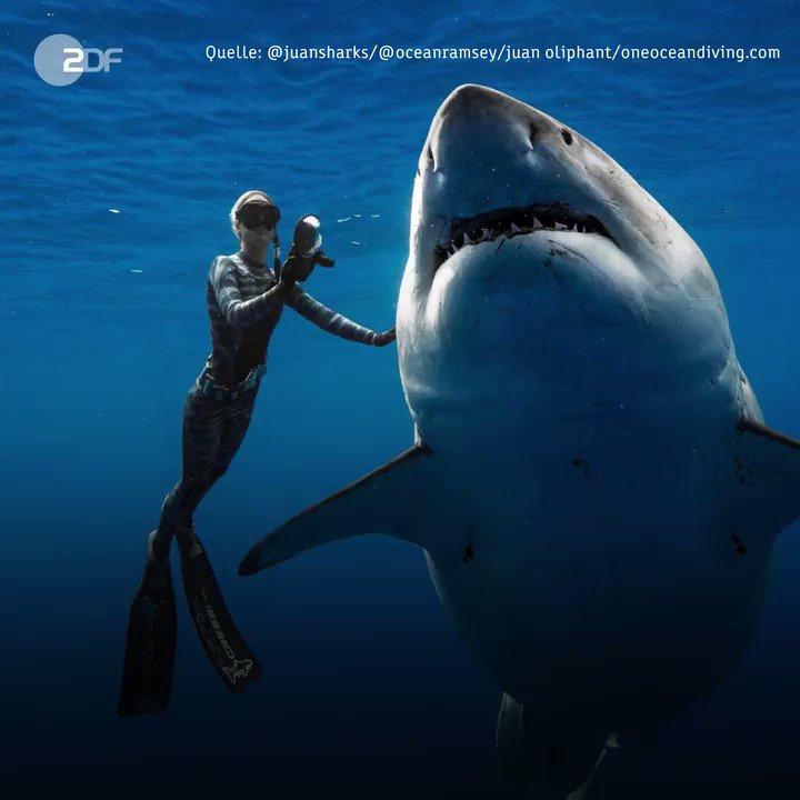 Das Weiße #Hai-Weibchen war sechs Meter lang, geschätzt zweieinhalb Tonnen schwer und womöglich schwanger. #Hawaii