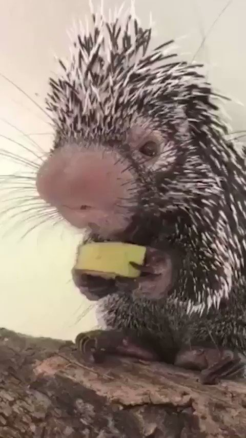 Have you ever seen a Baby Porcupine eating a banana? 🍌