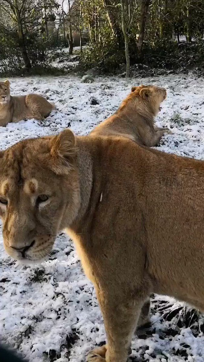 We are open as normal today, the animals have access to their indoor spaces and may choose to be indoors in the #CorkSnow . We urge visitors to only travel if it is safe to do so. https://t.co/Azm4a9YRu8 #Snow #Lions https://t.co/1pDFzvgoUg