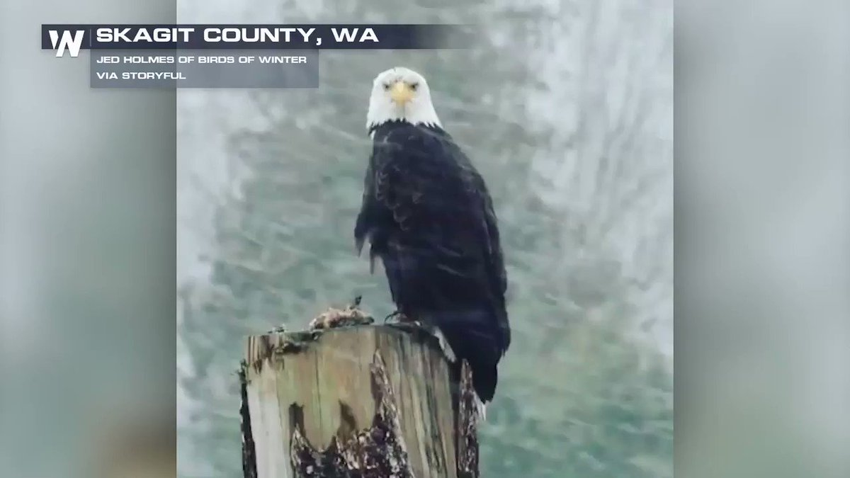 **EAGLE ALERT!** Check out who got caught on camera on Wednesday out and about in the snow! #wawx