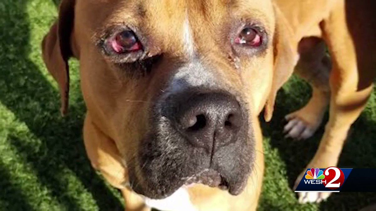 ICYMI: For weeks, deputies looked for the man who tied a dog to a moving car, and now @OrangeCoSheriff investigators say their suspect faces charges.   The man who first stopped and rescued the dog tells us he's relieved it's doing better now.   Our @WESH report: