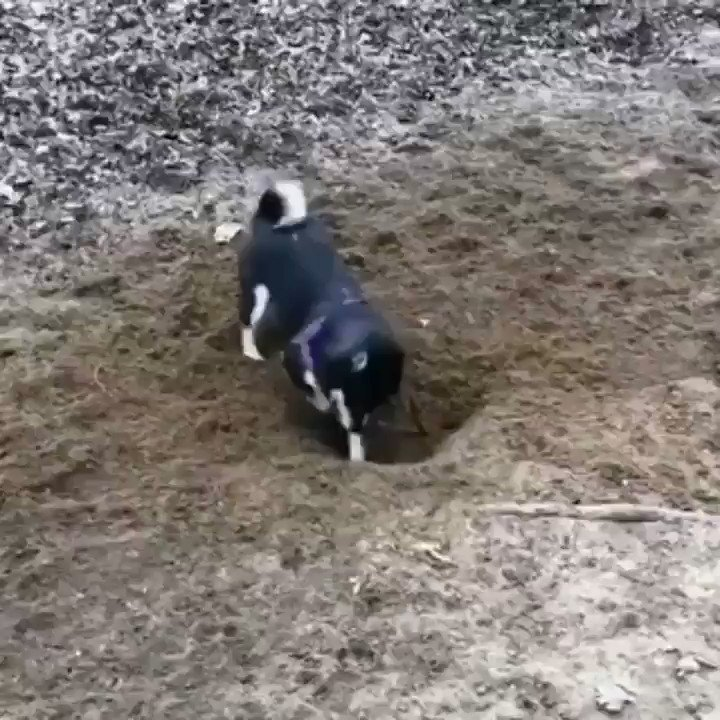 Please enjoy this footage of a dog digging a hole