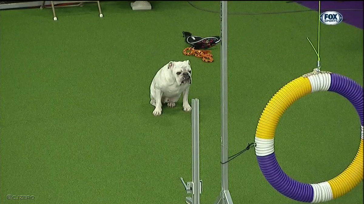 Rudy The Bulldog Is Doggone Determined In Westminster Agility Contest