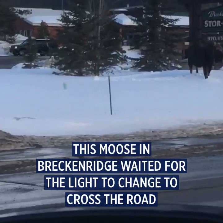 SO COLORADO: This moose in Breckenridge waited for the light to change at the intersection before crossing the street.