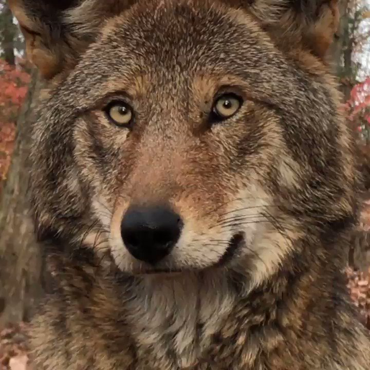 With fewer than 30 red wolves remaining in the wild, he might be the last one you see.  Join us in our mission to protect + preserve red wolves. http://bit.ly/WCCjoin
