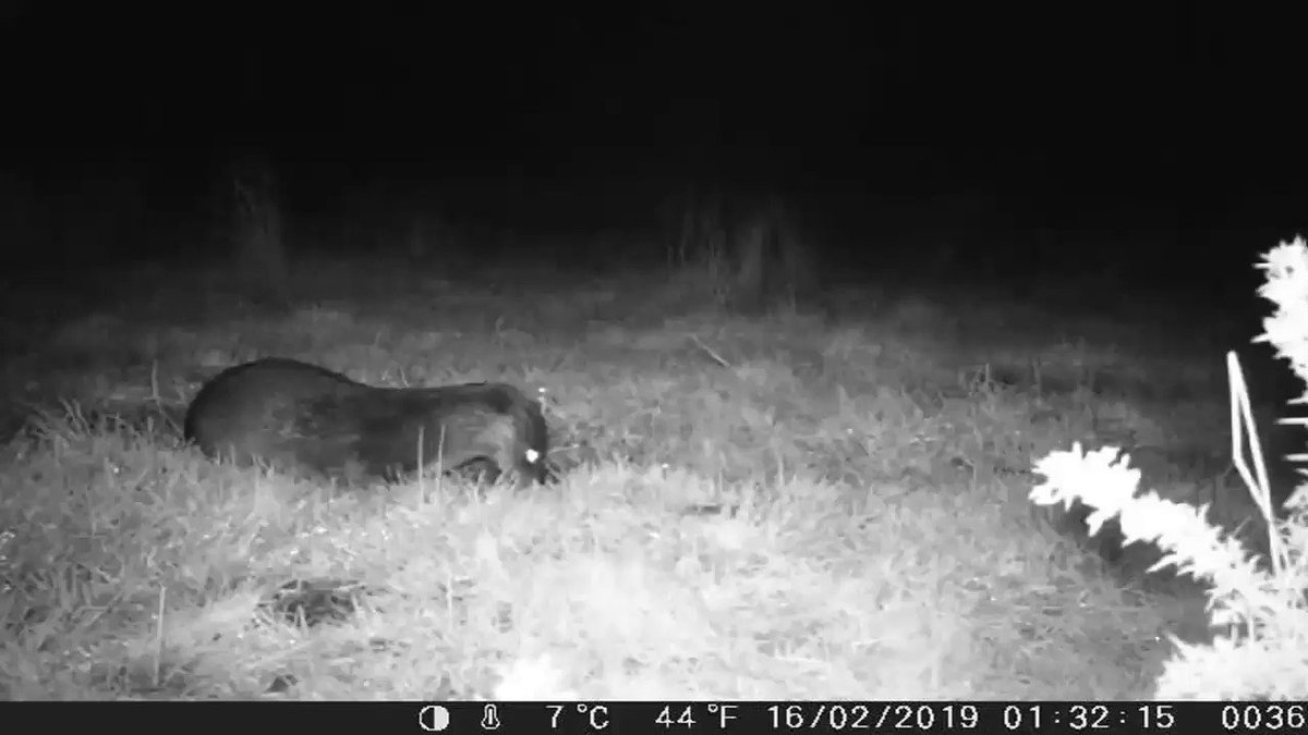 Almost 2 years after buying it I finally gave my trail cam a trial run,set up for 2 nights on some chicken I got the 2 species I was hoping for,a Buzzard took most of the food and a Fox took some scraps,I wasn't expecting an appearance from this Otter 😁 #ilovebute