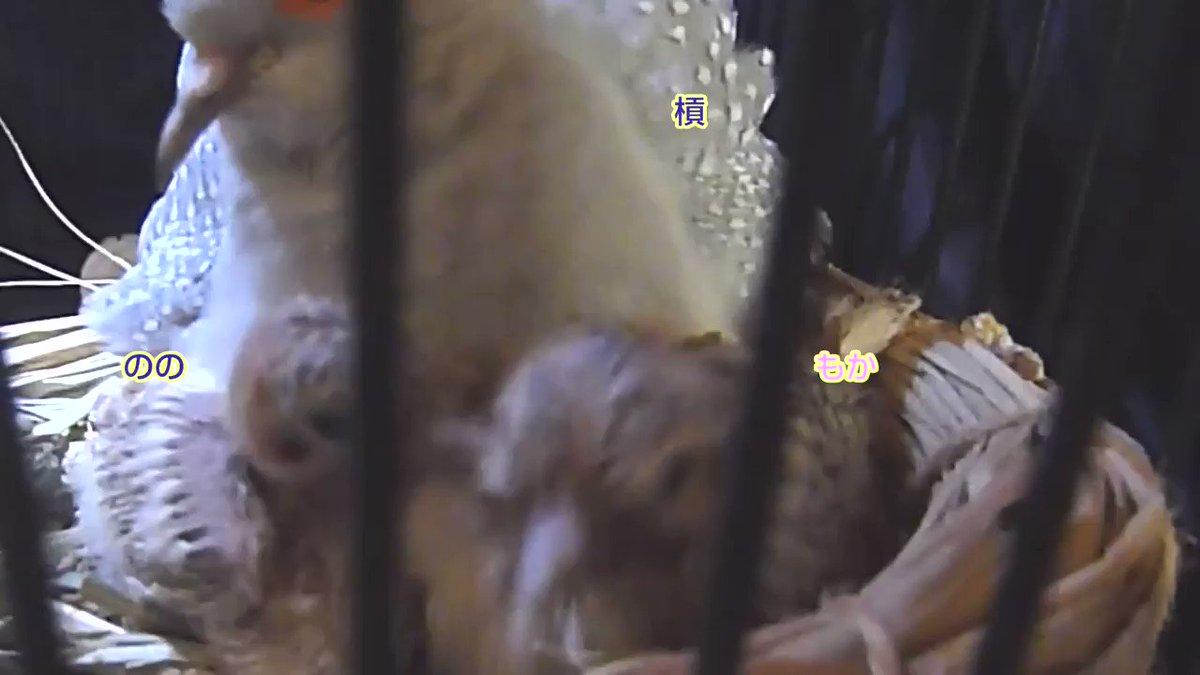 懐かしついでに未公開動画(生後8日)。 のの氏は妹よりかなり小さかったです。巣上げ・挿し餌で妹より大きくなりました。そのうは妹より大きかったです🤣 父に「ミルクちょうだい」ってw今のあの態度からは考えられないですね😇 #ウスユキバト #雛