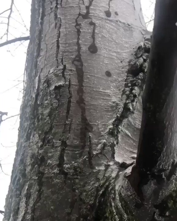 Ice melting underneath a layer of ice surrounding a tree