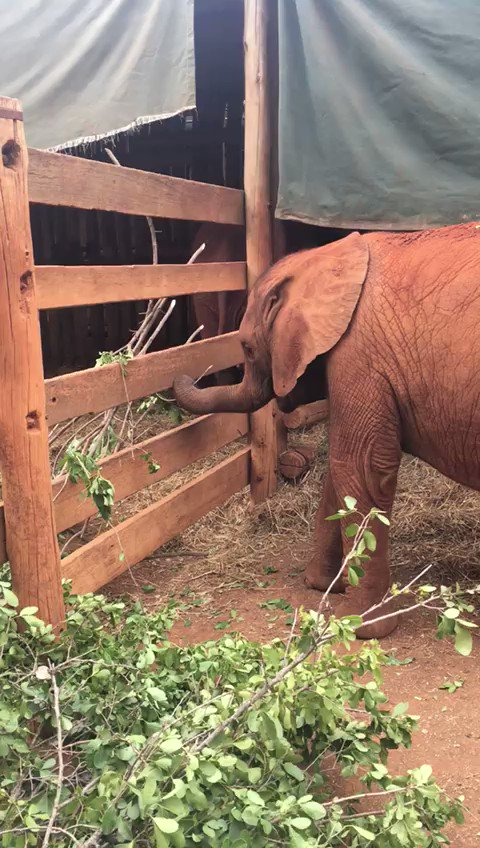 At the Nursery, the saying rings true: the greens are always greener on the other side. Some of the orphans take a stealth approach to swiping their neighbour's share while others are far more brazen about their thievery — swipe to see for yourself!
