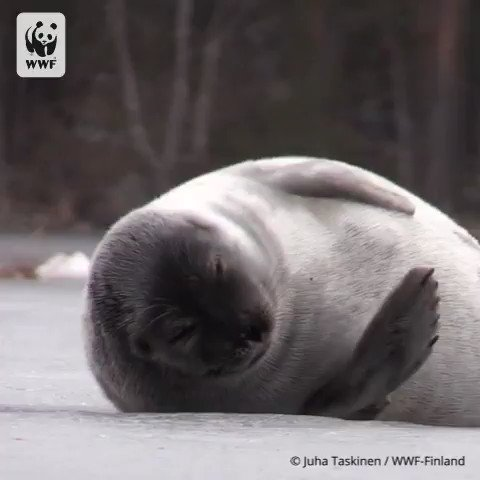 Check out this beautiful footage of the endangered Lake Saimaa ringed seal.