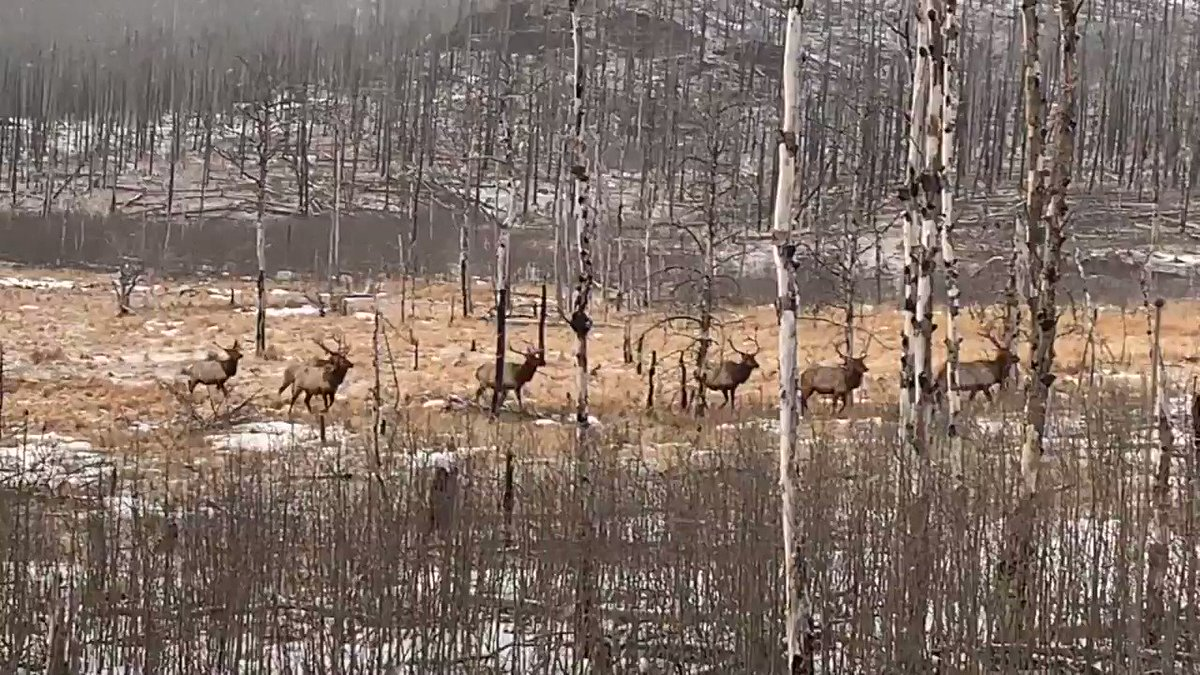 Pausing for our nature moment. Captivated by this gang of elk on our land.  #spring44 #elk #colorado #gang #nature