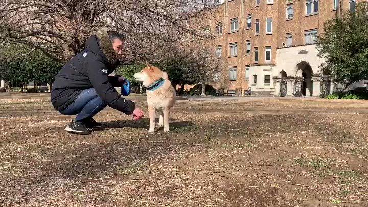 柴犬とキャッチボールすると楽しいから見て