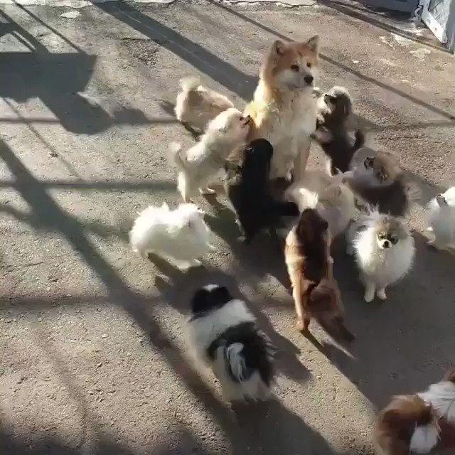 遊んでほしいポメラニアン軍vs興味のない秋田犬