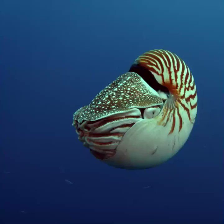 Chambered nautiluses are living fossils, and they're hanging by a thread.  The chambered nautilus needs the Endangered Species Act. Add your name now to help #StopExtinction: https://bit.ly/2O2EqcX