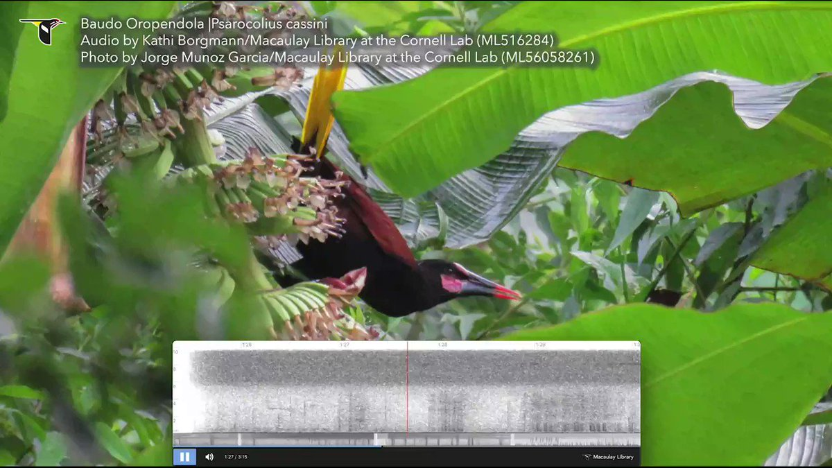 Voices of #endangered #birds from @MacaulayLibrary. Baudo Oropendolas occur in coastal lowlands & foothills of nw #Colombia, an area known as the Chocó where they are threatened by habitat loss. @IUCNRedList estimates <2,500 individuals remain #EndangeredVoices