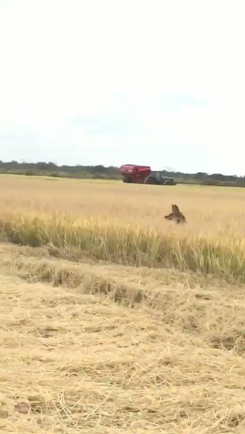 Es muy raro verlos, pero están. 2 aguará guazú en la Provincia de Corrientes, en plena cosecha de arroz. Caricias de la Creación.