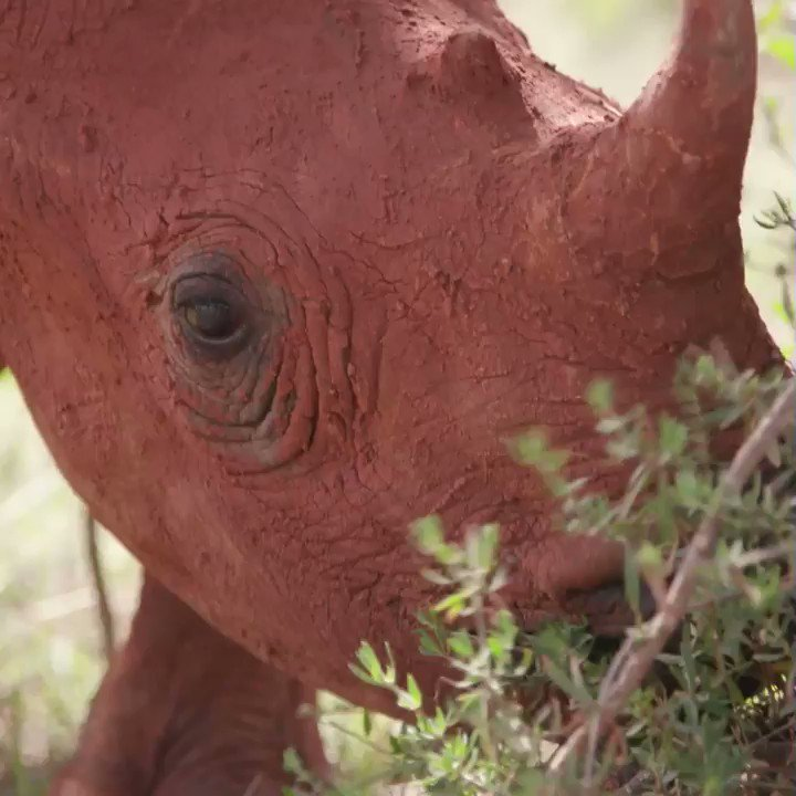 Sound on for the #cutest baby #rhino sounds EVER! #EvanGoesWild is tonight at 9pm!