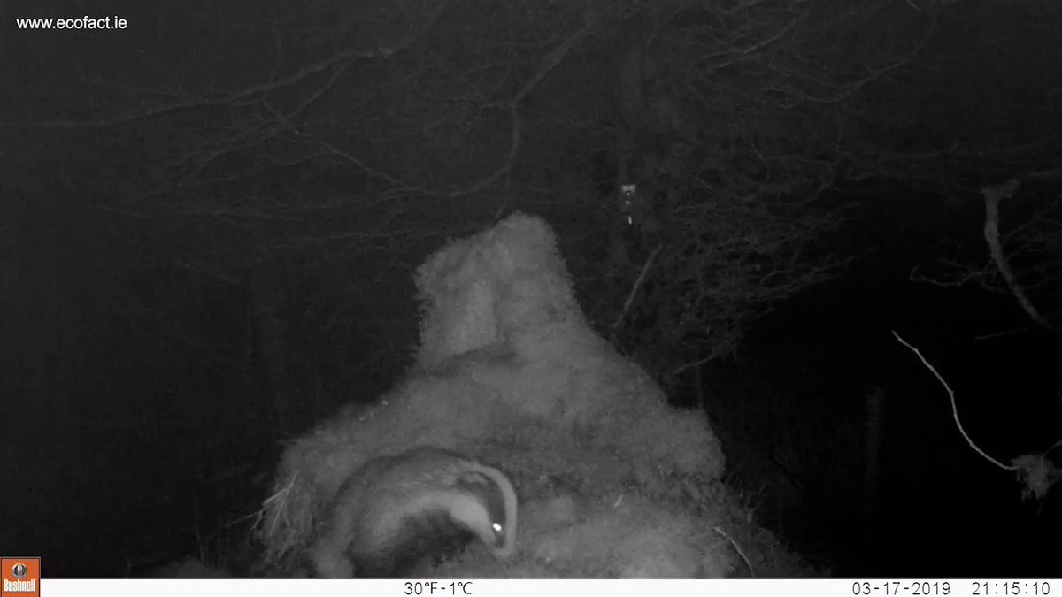 RT @EcofactEcology: A Badger visits a trail camera site on Keeper Hill, Co Tipperary, March 2019. https://t.co/6ufZkoTXij