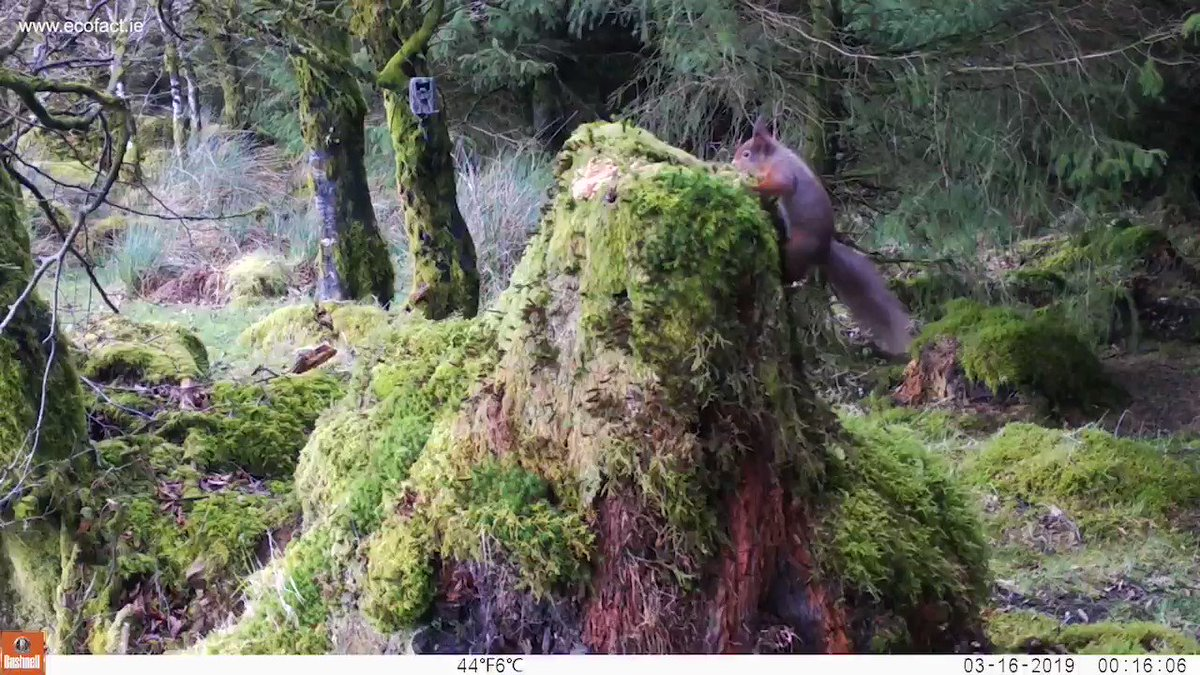 RT @EcofactEcology: More Red Squirrel footage from a trail camera site on Keeper Hill, Co Tipperary, March 2019. https://t.co/FdoBu5ZlFL