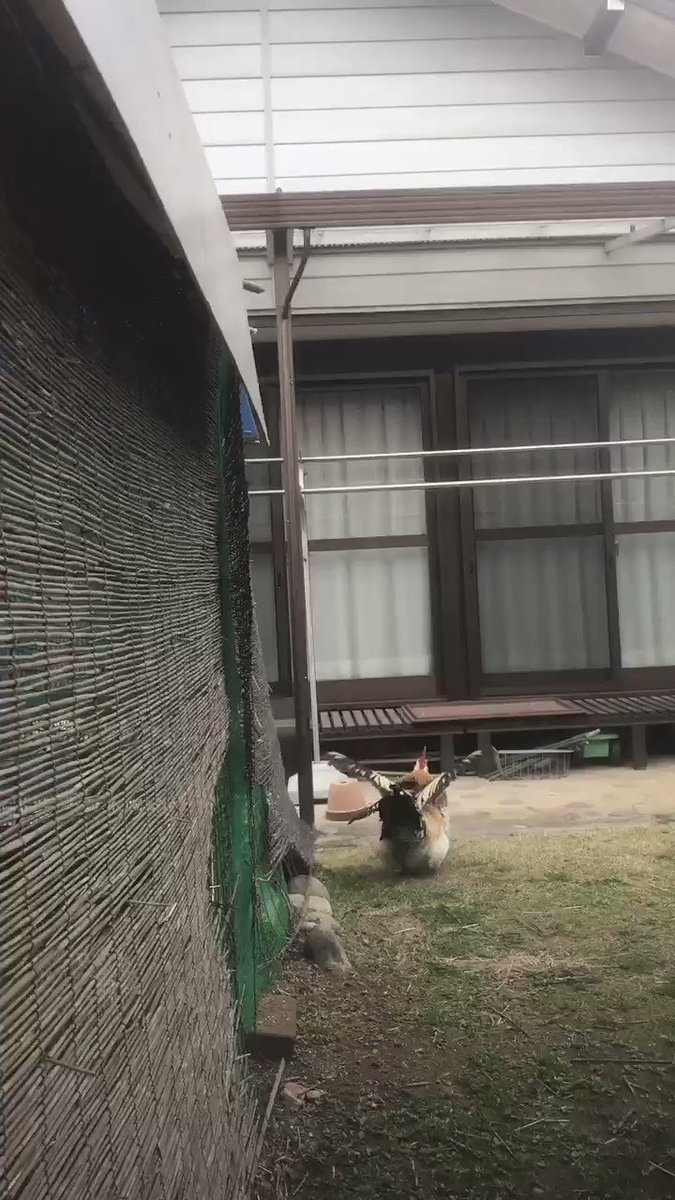 RT @GalLusGaLlUs21: 鶏は飛べないなんて言わせない! 今日もダイナミックに飛ぶよ〜🕊 【雄叫び注意⚠️】 https://t.co/5LqHVwosWT