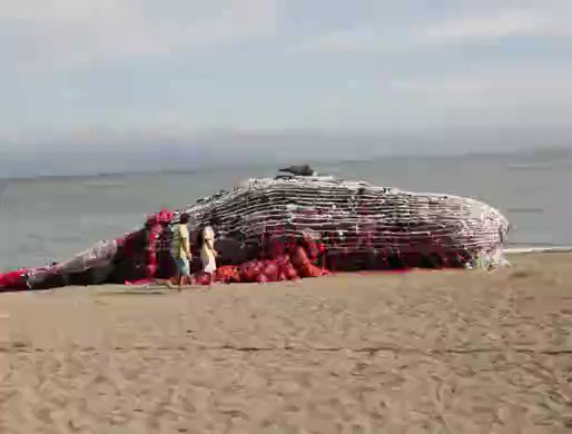 40kg. That's how much plastic was found inside a whale that washed ashore recently in the Philippines.  It's urgent for corporations to redesign their packaging and systems to minimise plastic waste. Demand action NOW >> https://act.gp/2MEHBqy  #BreakFreeFromPlastic