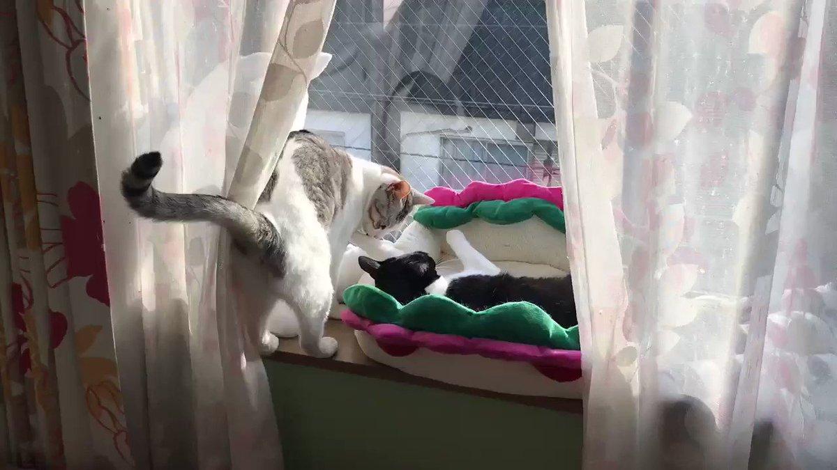RT @kuromame_touhu: 久しぶりのガチ?喧嘩⚔ #猫 #大豆姉妹 https://t.co/qZpIWJVLbt