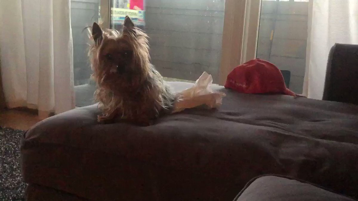 Image for the Tweet beginning: Gizmo wants BACON