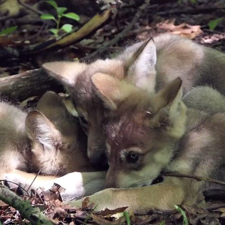 Your moment of critically endangered cuteness. 🐺 Beyond being adorable, these Mexican gray wolf pups represent our active participation in the effort to save a species from extinction. http://bit.ly/join-wcc   #loboweek #savethelobo