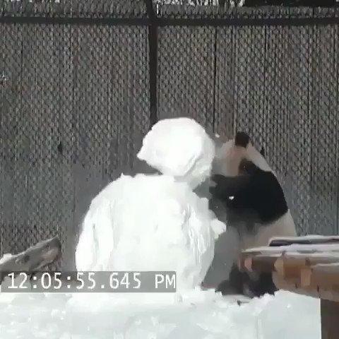 Panda é um bicho muito fofo 😍❤️