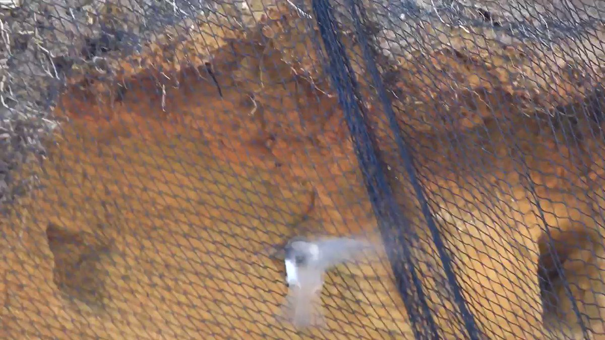 #Sandmartin meets netting. #BactonSandscaping No nesting for you, my amber listed migrant.#NestingNotNets