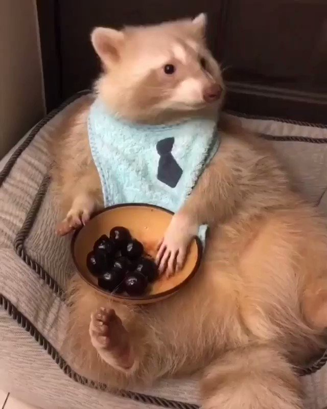 Because everything sucks, please enjoy this raccoon in a necktie bib eating grapes out of a bowl.