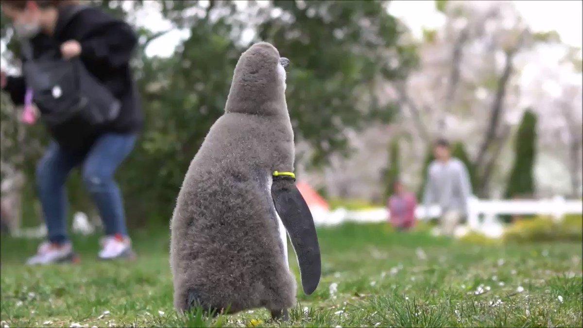 ペンギンのヒナが初めて見る桜吹雪を不思議そうに眺めているだけの動画。