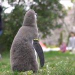 生まれて初めて見る桜吹雪!不思議そうに眺めるペンギンのヒナが可愛い