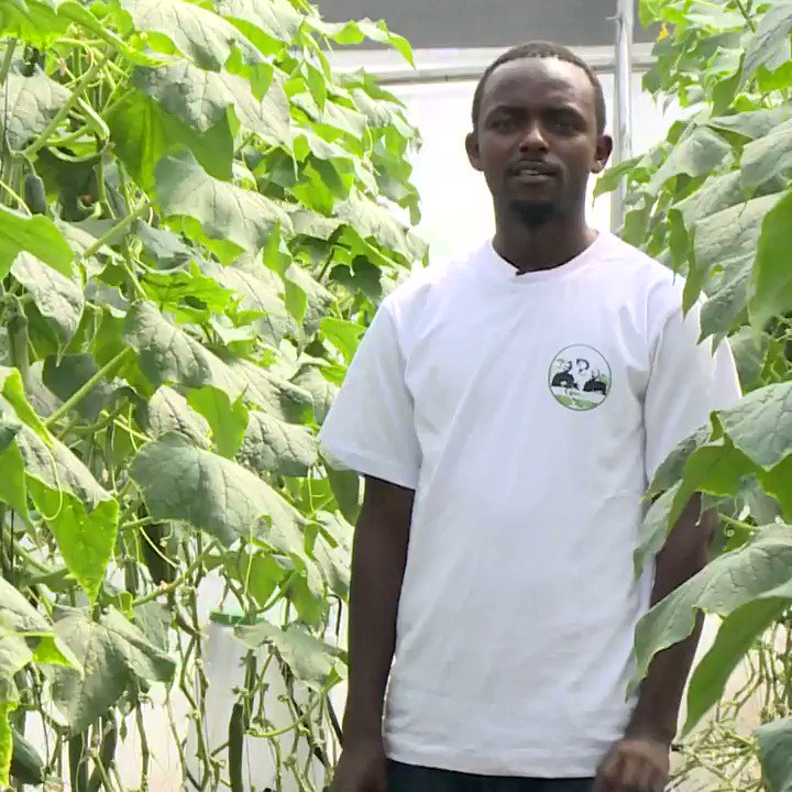 Benefits of greenhouse farming:    Greenhouse farming has not yet been adopted by many farmers in Kenya, but for those farmers practicing this method, the benefits are just wonderful.  So, what is greenhouse farming? What are the advantages of greenhouse farming?  PART 1