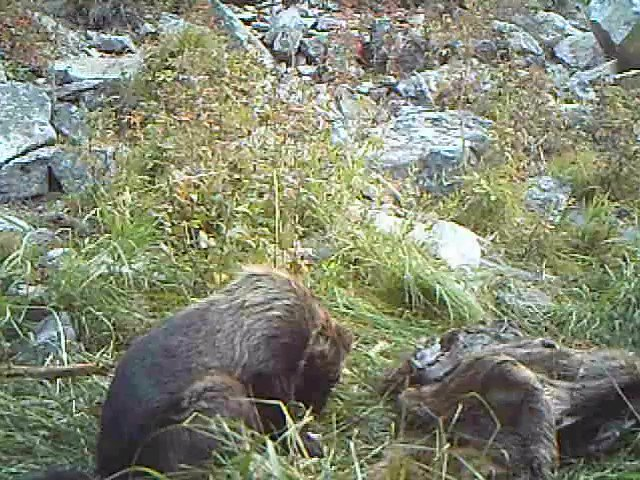 "A good example of why wolverines are known as ""the glutton"" >>>  It nearly chokes (sound on) while trying to swallow a chunk of elk that it scavenged from a wolf kill.   (This is part of research we are currently writing up about wolverines scavenging from wolf kills)."