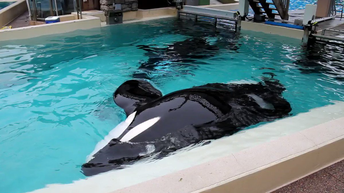 THIS IS NOT NORMAL! Orcas in the ocean can swim up to 140 miles in a day.  But THIS is how orcas live at #SeaWorld — unmotivated and defeated, languishing in tiny tanks.