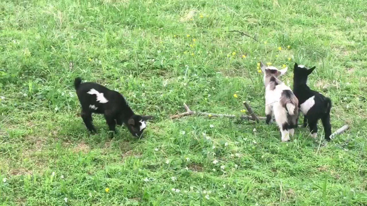 Blossom, Bubbles, and Buttercup: the Powerpuff Goats.  #40AcresandaFool