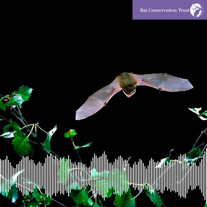 The warm weather means bats are increasingly active. The most common species seen in gardens is the common pipistrelle, this is what they sound like through a bat detector. To find out more about this and other species and listen to them, visit: https://www.bats.org.uk/about-bats/what-are-bats/uk-bats … ❤️🦇