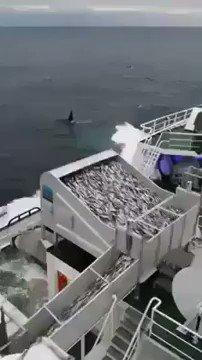 CESSONS D'ÊTRE COMPLICES DE CE CARNAGE: l'écosystème marin avait prévu les prédateurs marins NATURELS, orques, dauphins, oiseaux...  Mais il n'avait pas prévu les pilleurs des mers que nous sommes devenus. La pêche industrielle fournit environ 89% de nos étals une abberation.