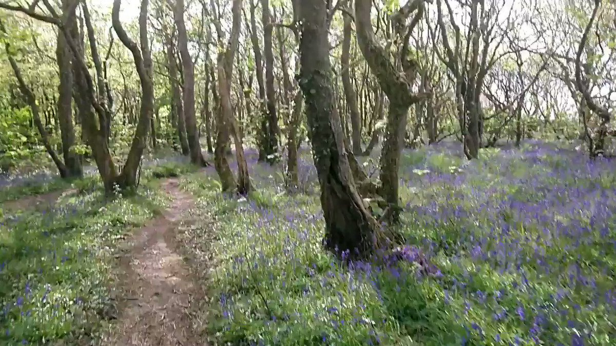 Ran through Tehidy Woods today as part of my route. Bluebells are looking proper grand #flowers #wednesdaythoughts #ukrunchat @EvocativeCorn @ILoveCornwallUK #cornwall #sunshine @RunCornwall @UKRunChat
