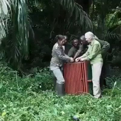 This is what real love and appreciation looks like.   Watch this incredible moment as Jane Goodall and team release a rehabilitated chimp back into the wild.