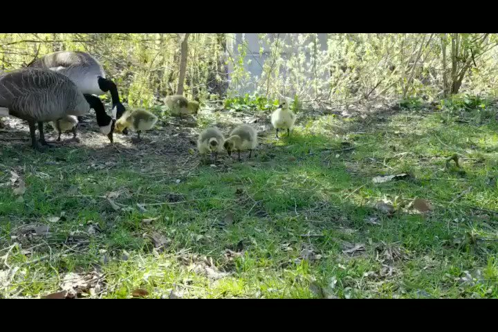 I saw some baby Canadian geese at the park today.