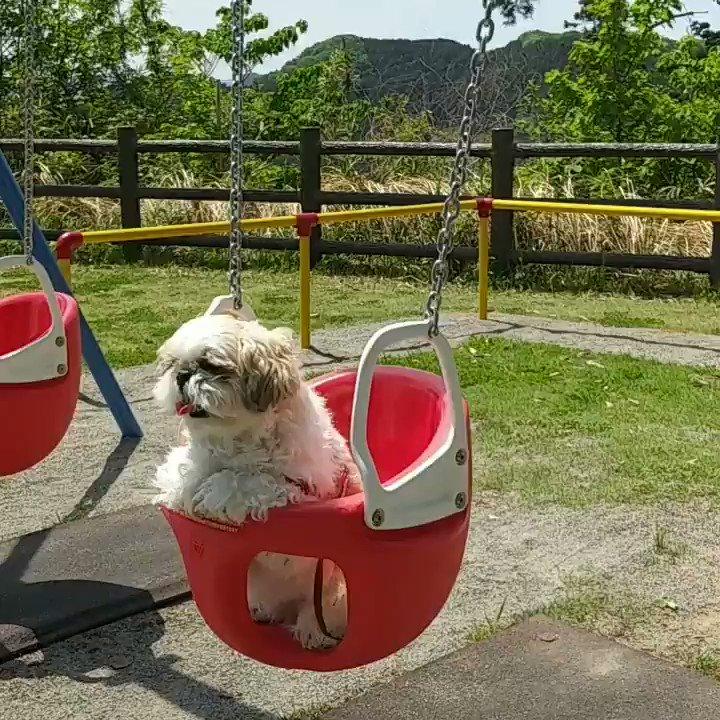 こどもの日  麻呂といっぱい遊びました 初ブランコ気に入った様子でした  トリミング行く前に あちこち行って汚れまくり モジャ麻呂  #シーズー #いぬのきもち  #いぬすたぐらむ #鼻ぺちゃ犬 #犬のいる生活  #犬好きな人と繋がりたい  #こどもの日 #ブランコpic.twitter.com/cpWjjpPLXz