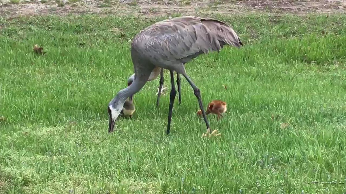 Sandhill Crane Family With Adopted Gosling Jocelyn >> Jocelyn Anderson Photography On Twitter Sandhill Crane Family This